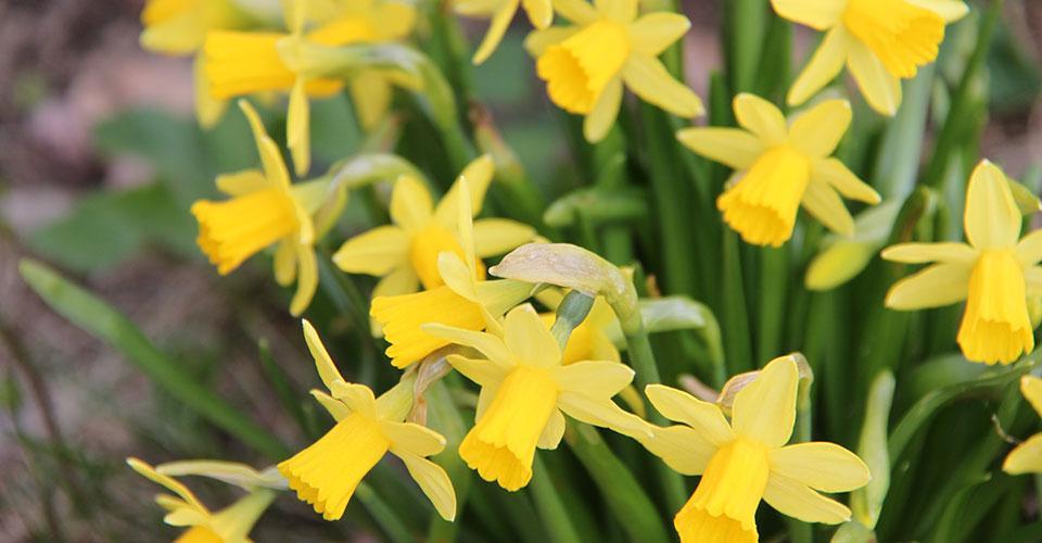 keltaiset narsissit
