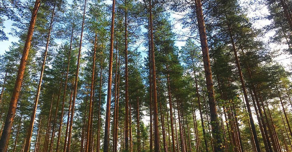 Lähikuva puiden rungoista metsässä.